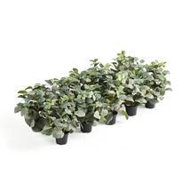 Umělé květiny do nástavce Modulus, 10 ks Fittonia